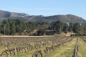 A la comarca de la Ribera d'Ebre hi ha 800 hectàrees de vinya, que produeixen fins a 5,5 milions de quilos l'any.